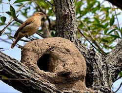 Pájaro Nacional de la República Argentina
