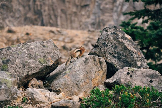 Chipmunk at Mount Edith Cavell