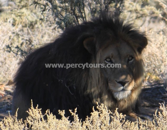 Lion on Safari near Cape Town