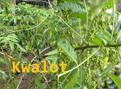tanaman kwalot
