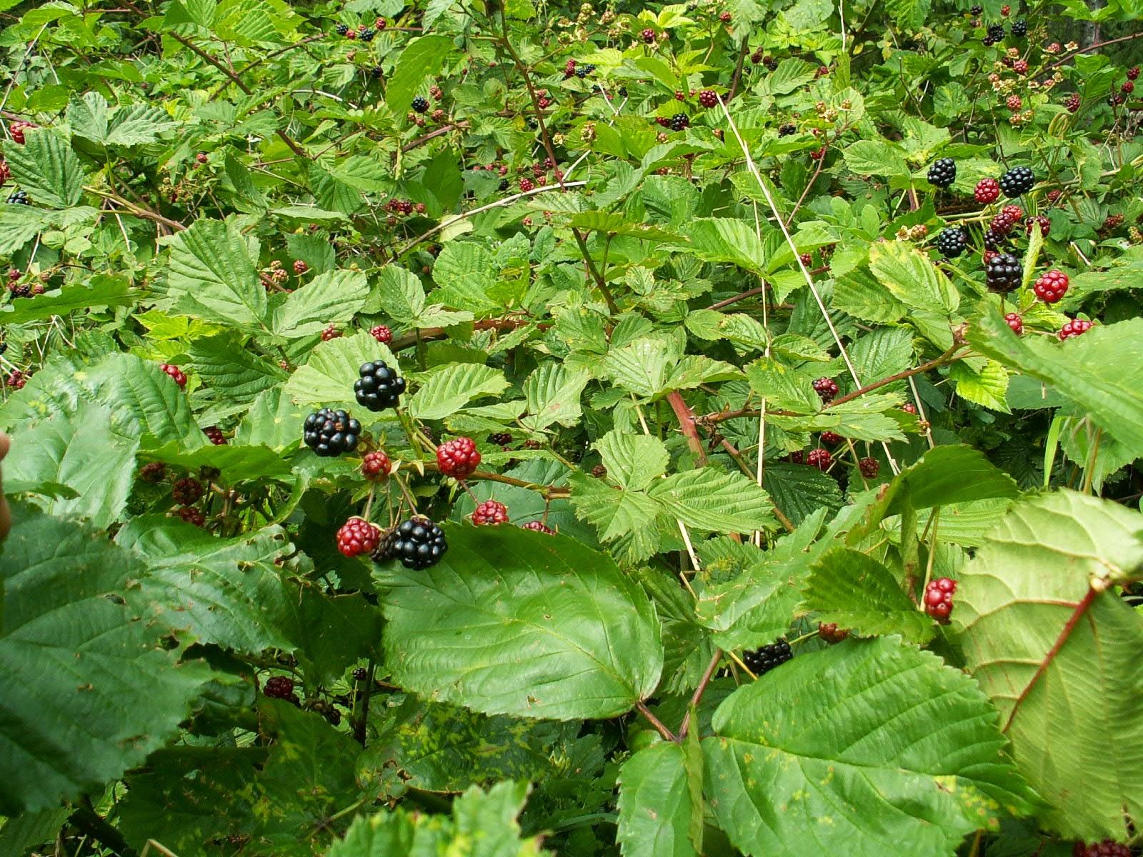 JEŻYNA FAŁDOWANA Rubus plicatus
