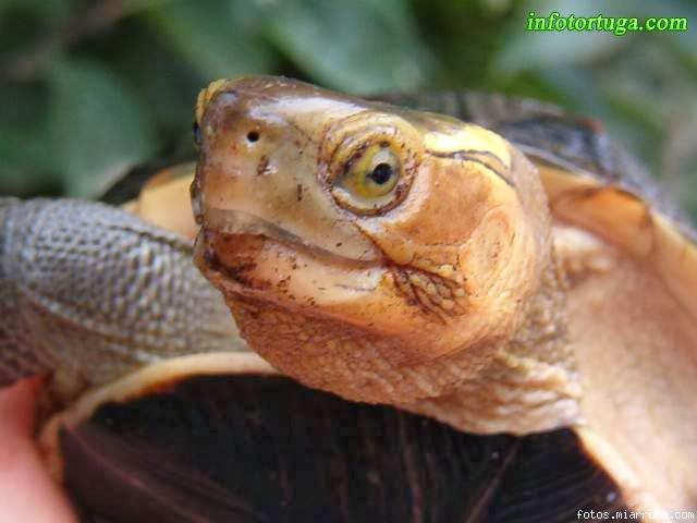 Cistoclemmys flavomarginata, cabeza