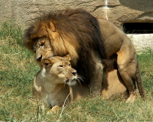 Lavovi / Lions pictures - Page 2 Lion%2Bmate%2Bsex