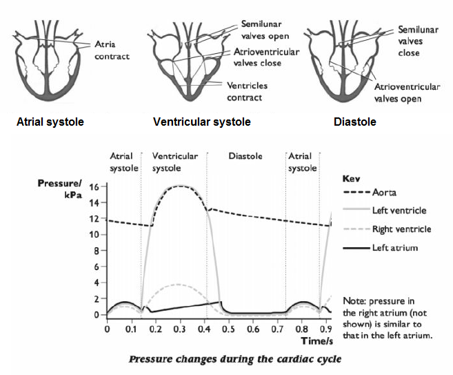the cardiac cycle and its control The cardiac cycle is divided into ventricular systole (contraction and ejection) and ventricular diastole (relaxation and filling) (fig 1-3) systole ventricular systole commences with the closure of the mitral and tricuspid valves once ventricular pressure exceeds atrial pressure.