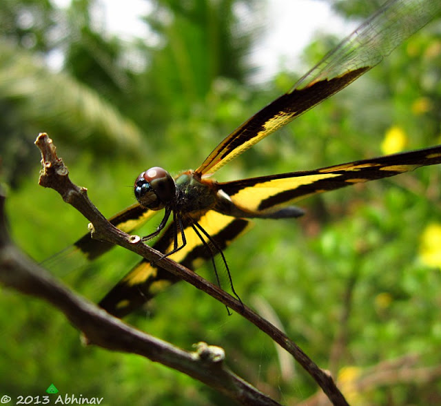 Common Picture Wing Dragonfly (Female)