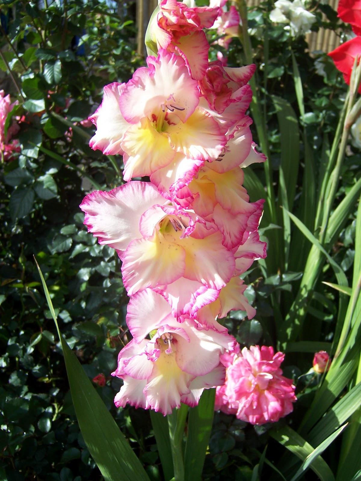The 2 Minute Gardener Gladiolus