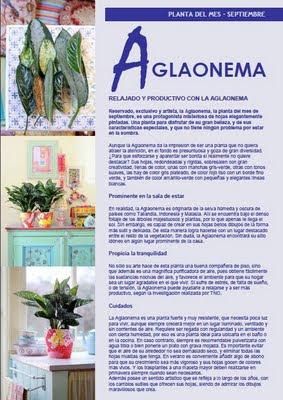 Aglaonema