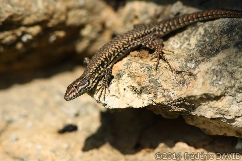 lézard des murailles animaux macro reptile