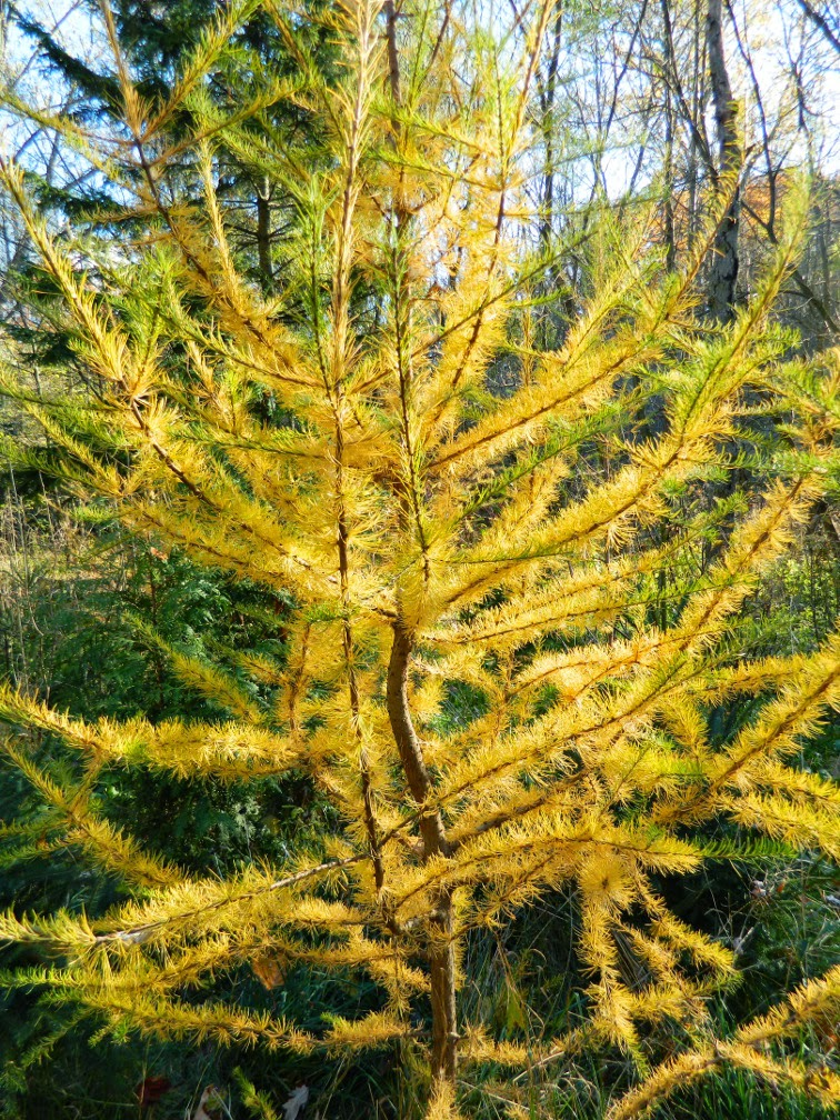 European Larch Larix decidua fall foliage Taylor Creek Park by garden muses-not another Toronto gardening blog