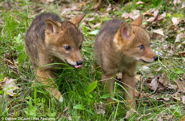 Baby Coyotes Howling | www.pixshark.com - Images Galleries ...