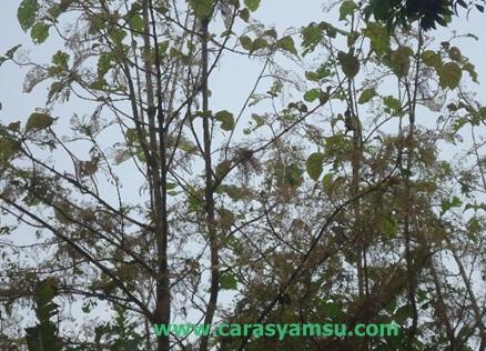 Pohon jati terserang ulat bulu