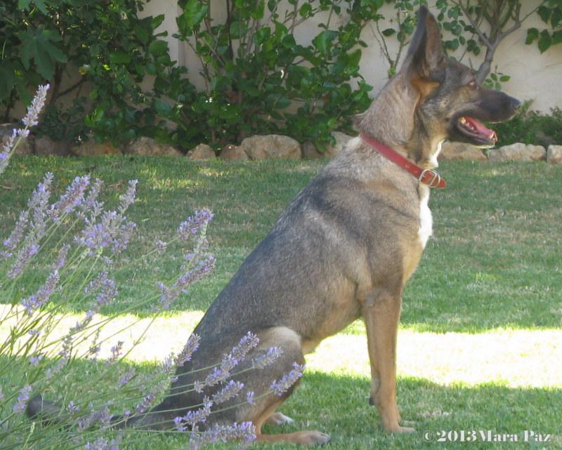 cão em alerta