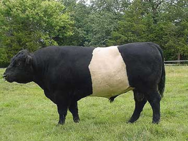 Belted Galloway Cow' - via Google