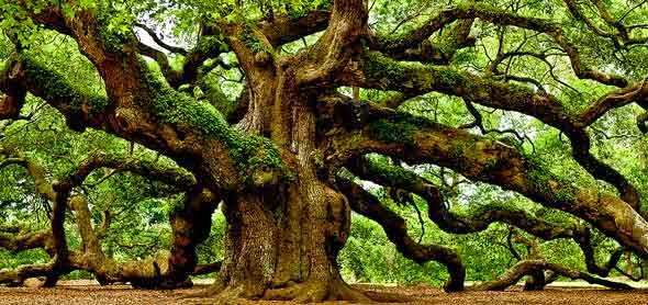 photo of Angel Oak Tree in Charleston
