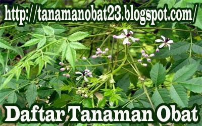Tanaman Obat Mindi Kecil (Melia azedarach L.)