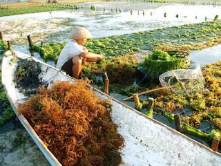 Nusa Ceningan Farmer