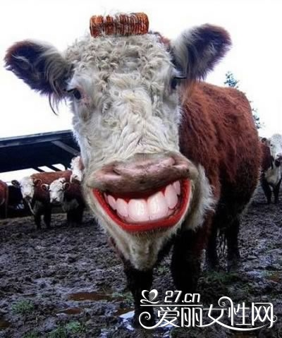 Funny Pictures Of Cows Excellentcoolpics: Fun...
