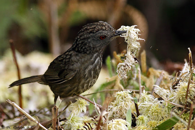  Streaked Wren-Babbler at Gunung Ulu Kali
