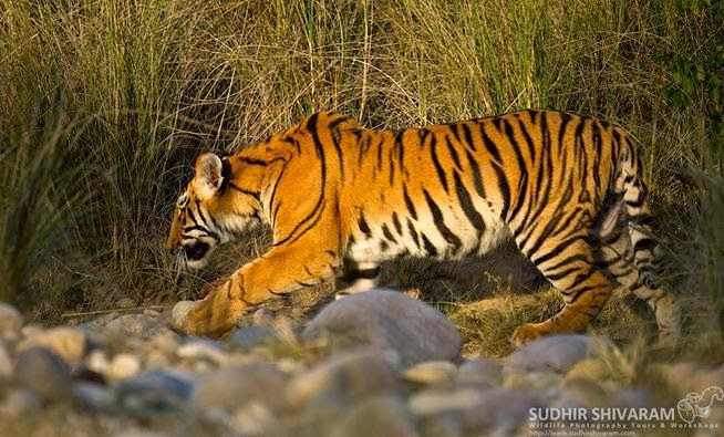 Tiger sub adult at Corbett Tiger Reserve