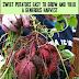 Growing Sweet Potatoes #Organic_Gardening