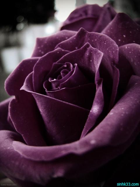 những loài hoa màu tím , hoa màu tím có ý nghĩa gì
