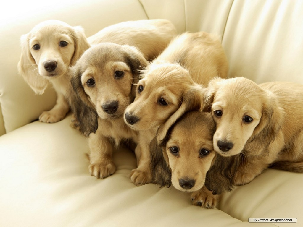Cute Dogs: Miniature Dachshund Dog