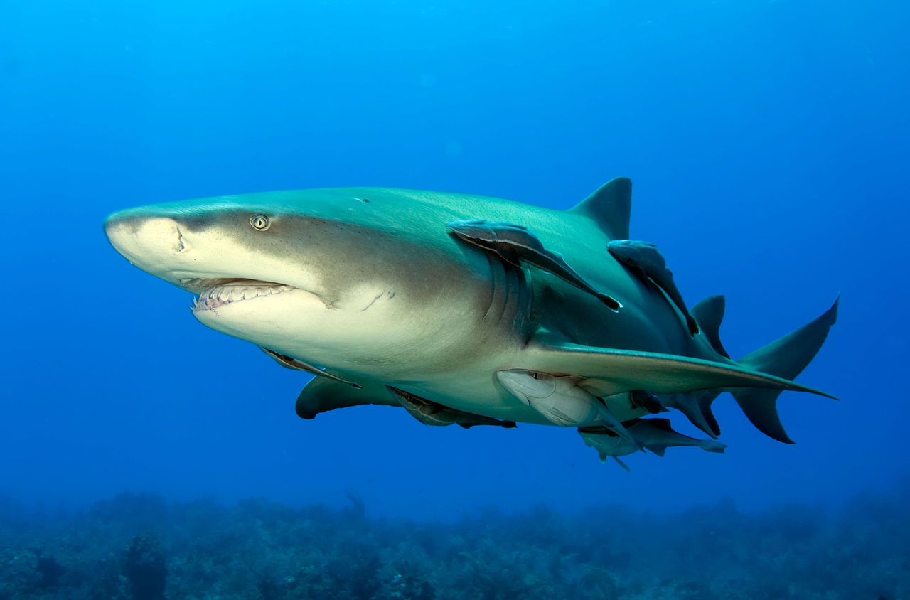leopard shark and remora commensalism relationship