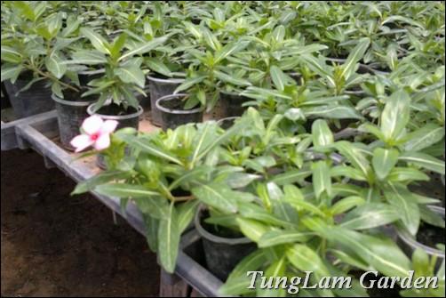 bán Dừa cạn rủ, dừa cạn, hoa dừa cạn rủ, hoa dừa rủ, dừa cạn rũ