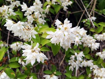 ウツギ・卯の花
