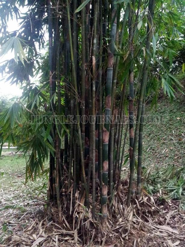 Lemang Bamboo (Schizostachyum Brachycladum) bush