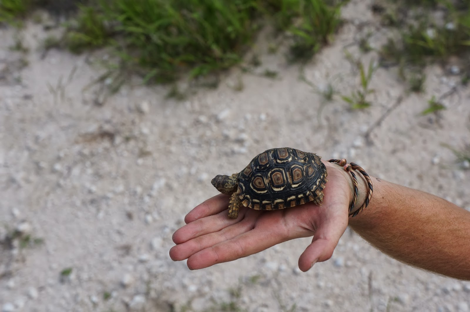 Baby Leopard Tortoise | Health, Cancer, Liver, and Surgery