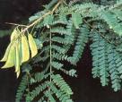 obat tradisional herbal secang