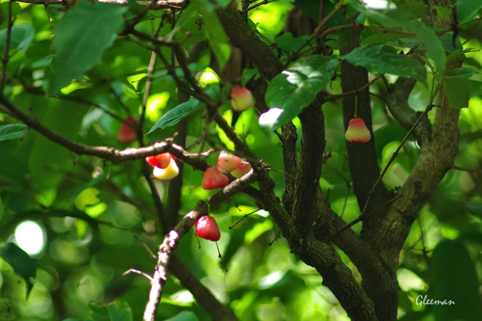 雞南山步道上有好幾株蓮霧樹已結滿了豐碩的果實