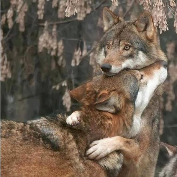 Funny animals of the week - 28 February 2014 (40 pics), wolf hugs other wolf