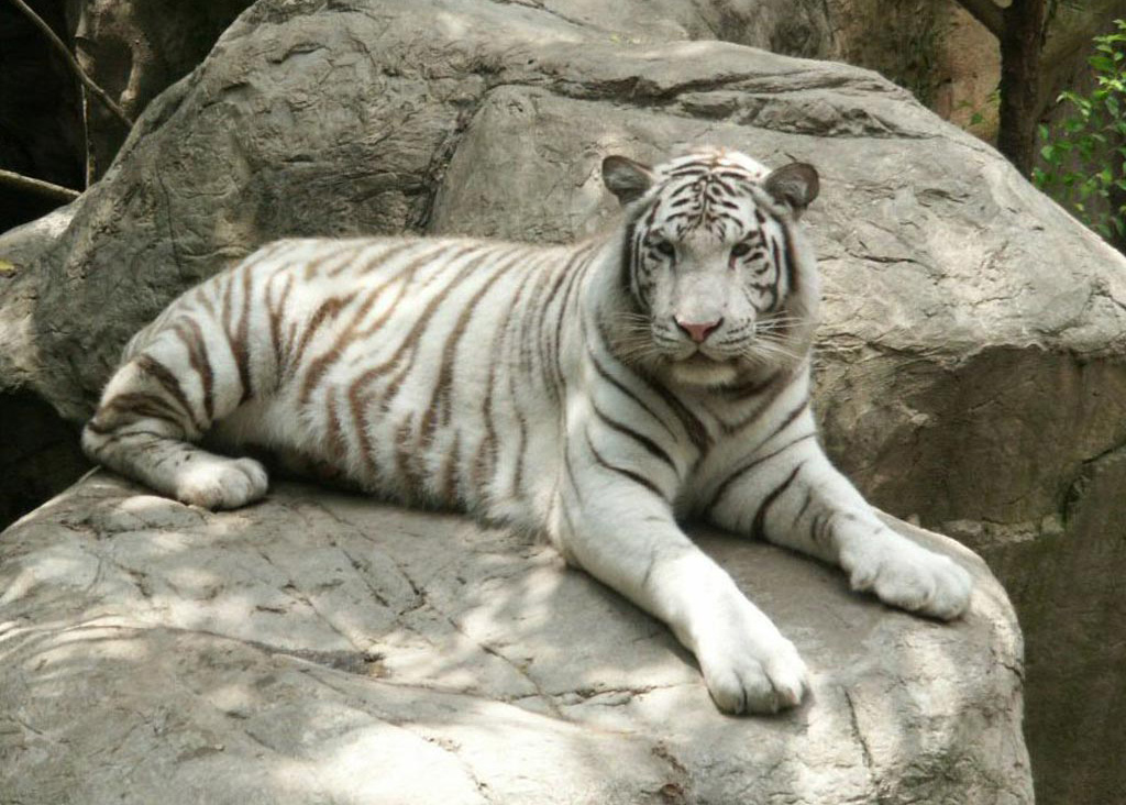 beautiful 1080p hd tiger wallpaper hd wallpapers amp images