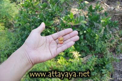 kopi luwak arabica biji kopi buah kopi pohon kopi