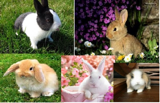 jenis kelinci,hewan peliharaan, jenis hewan peliharaan