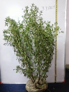 STEVIA HIGHEST HEIGHT RECORDED PLANT