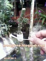 Ke 8 - Cara menyambung tanaman  bunga Adenium