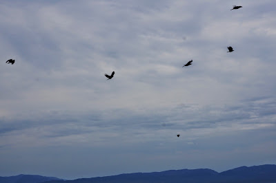crows over water