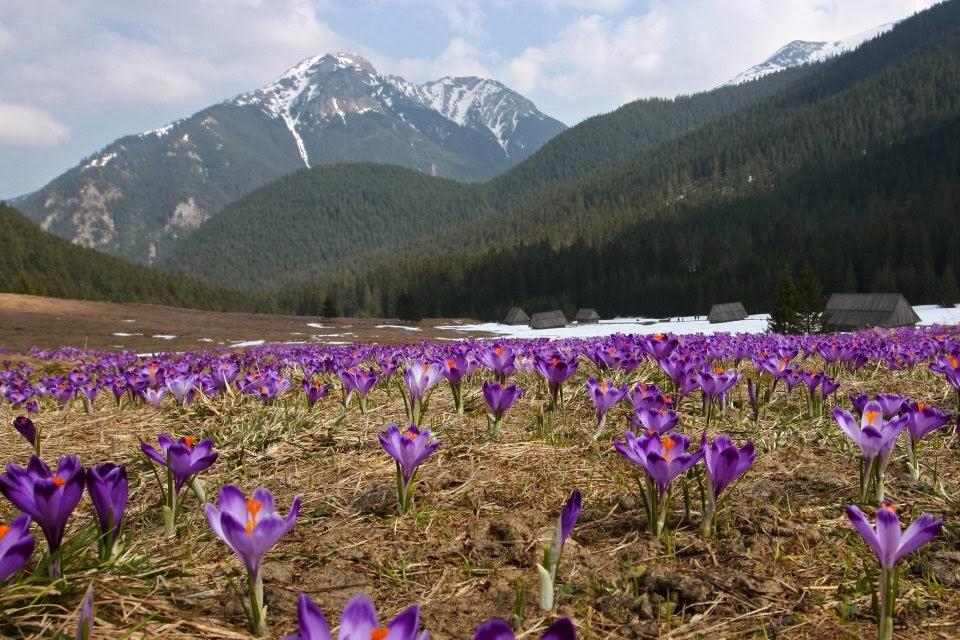 Krokusy w dolinie Chochołowskiej