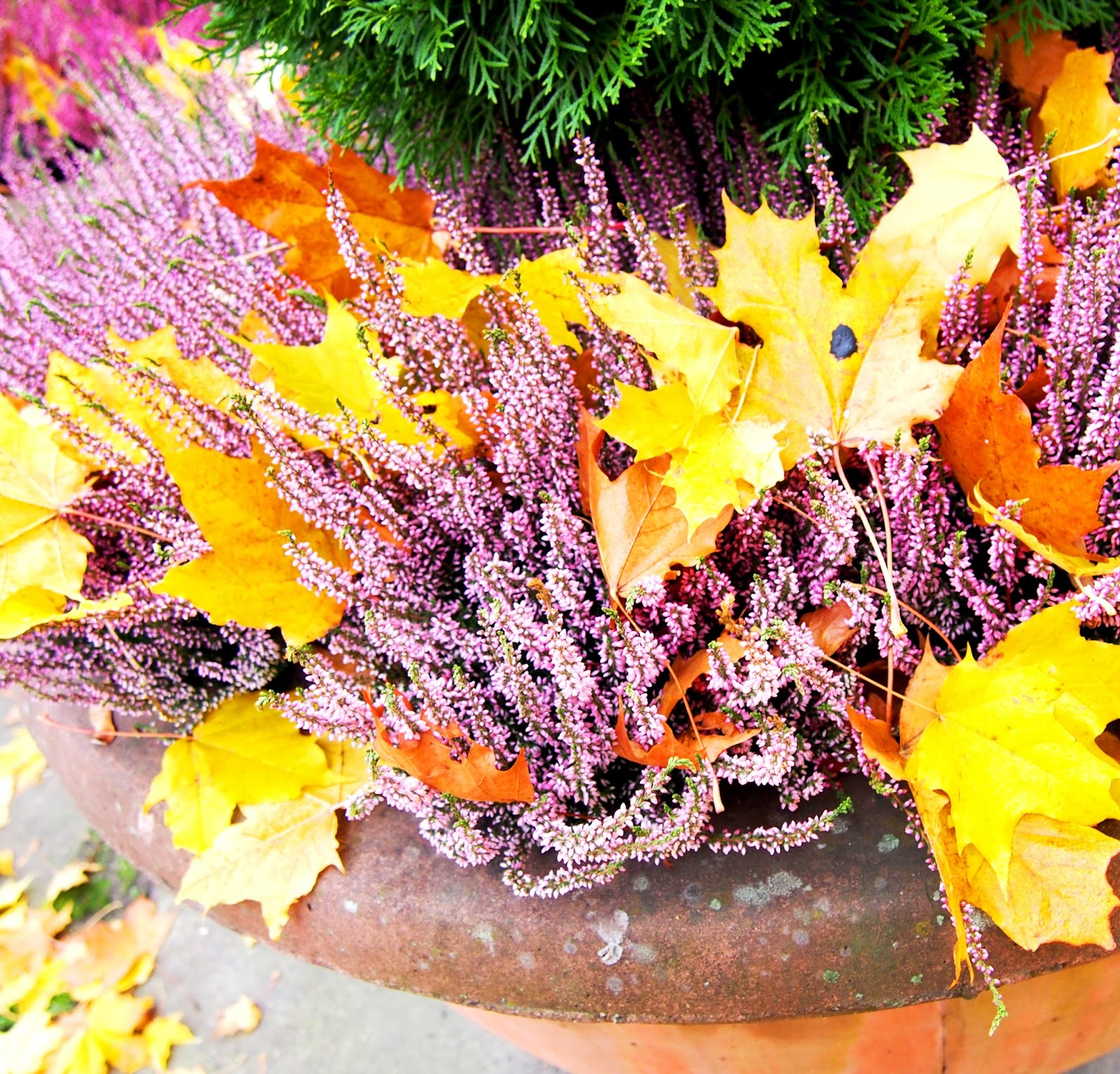 kanerva, flowers, kukat, syksy, kukka, autumn, fall, leaf, lehti
