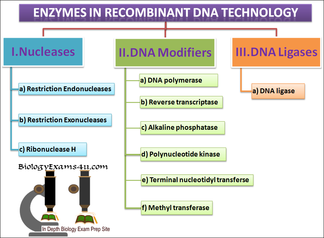 Multiple choice questions on biotechnology enzymes in genetic which of the following enzyme is used to synthesize dna using an mrna template a taq polymerase b alkaline phosphatase c reverse transcriptase maxwellsz