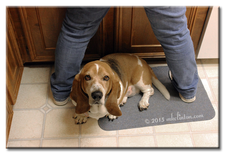 Woman standing with legs straddled over Basset Hound