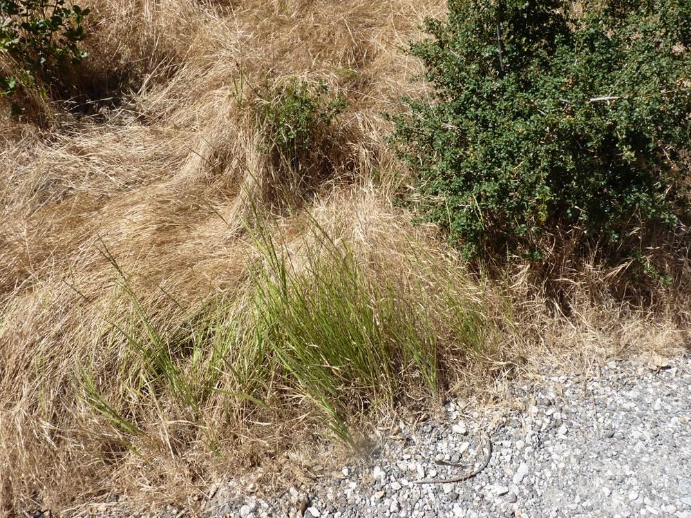 Picture of Live Beardless Wildrye, Creeping wildrye, alkali ryegrass, valley wildrye aka Leymus tritcoides Grass Plant Fit 1 Gallon Pot