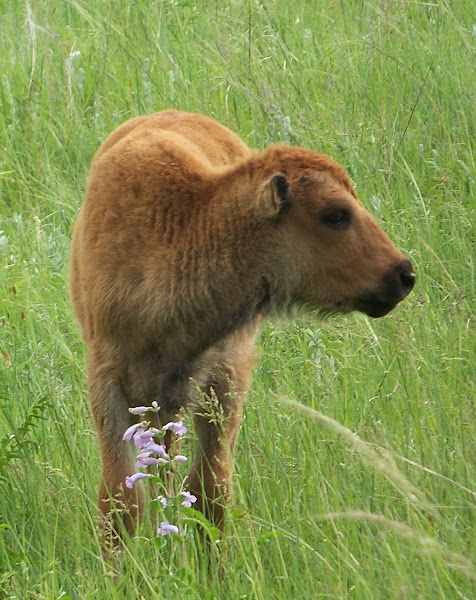 Baby Bison, don't tread on that pretty flower...