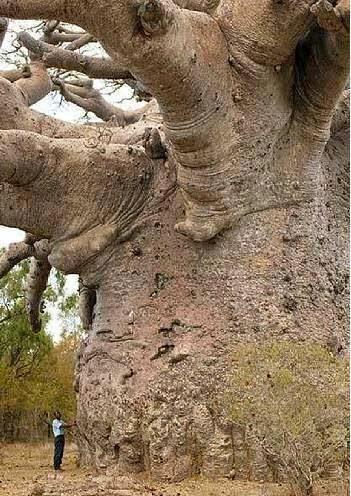 tree, baobab
