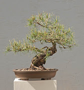 Scots pine, Pinus sylvestris, new pot by Klaudia Wuestefeld.
