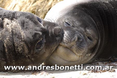 Elefante Marino del Sur - Southern Elephant - Isla Carcass - Carcass island - Islas Malvinas - Patagonia - Falkland Islands - Andrés Bonetti