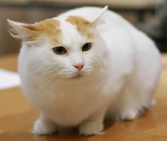 Turkish Van Cat
